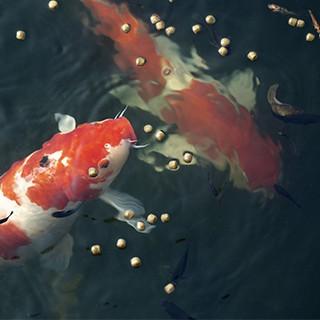Alimentation pour poisson de bassin